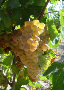 grappe raisin blanc rolle vermentino vigne domaine fredavelle vin provence